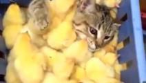喵星人一脸懵逼,被一大群小鸡给淹没了!