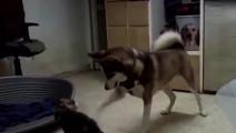 敢和猫咪叫板的狗,也只有哈士奇了!