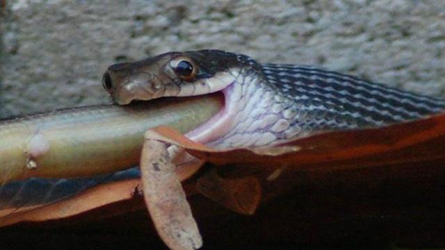 世界第一巨蛇疯传网络