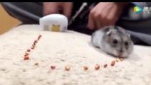 仓鼠吸尘器,吸完了食物撒丫子就跑,原来小短腿动作也能那么快