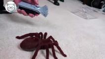 网友为了吓哈士奇,买了这么大只蜘蛛!