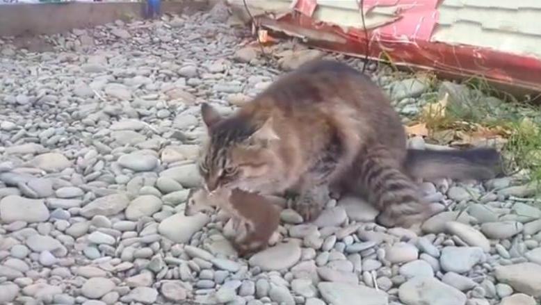 谁说猫打不过黄鼠狼,这只猫就捉到一只,跟老鼠一个下场!