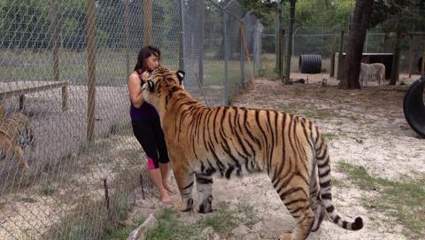 土豪刚买的老虎 被两只二哈欺负成了猫 吓得都不敢动