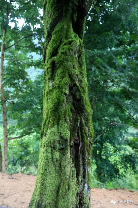 微信头像风景两棵树