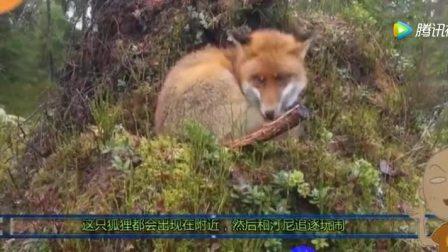 野生小狐狸自从和汪星人好上之后, 就慢慢变得更像只狗了
