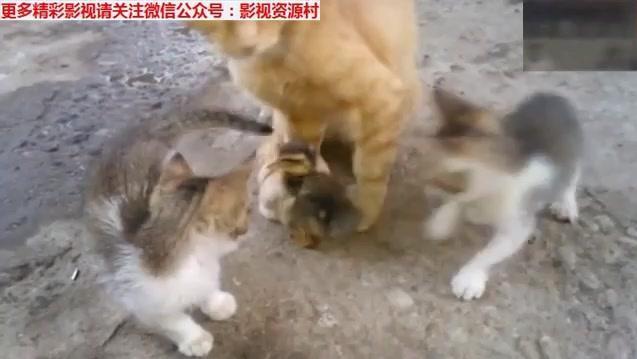 小鸭子错把小猫咪当妈,猫咪去哪鸭子就跟到哪,猫咪一脸的好奇!