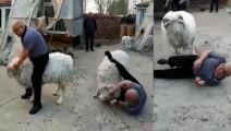 实拍光头男骑羊拍照遭愤怒山羊连撞笑坏众人