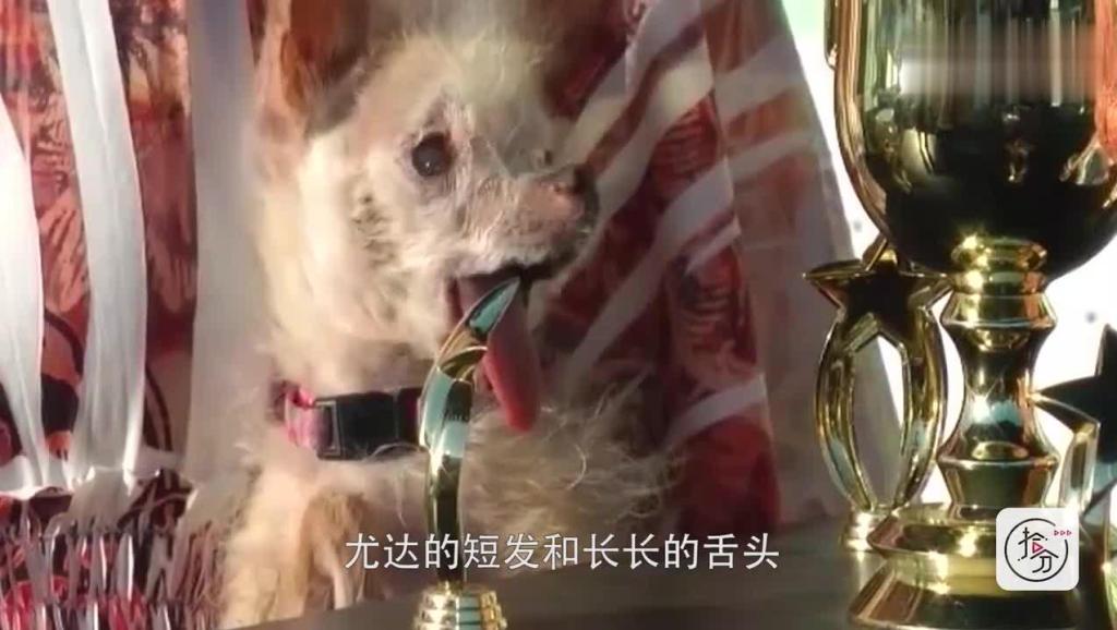 """一只狗狗获得了""""丑狗大赛""""冠军,长得真是实至名归!"""