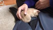非要赖在主人腿上的小奶猫,治愈度满分