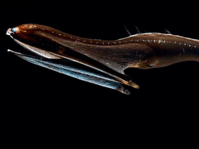 这种典型的深海鱼是大洋深处样貌最奇怪的生物之一