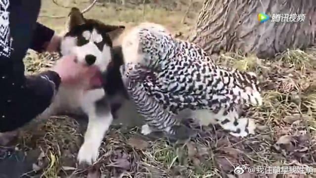 别把任何宠物和哈士奇养在一起,连猫头鹰都变成二货了