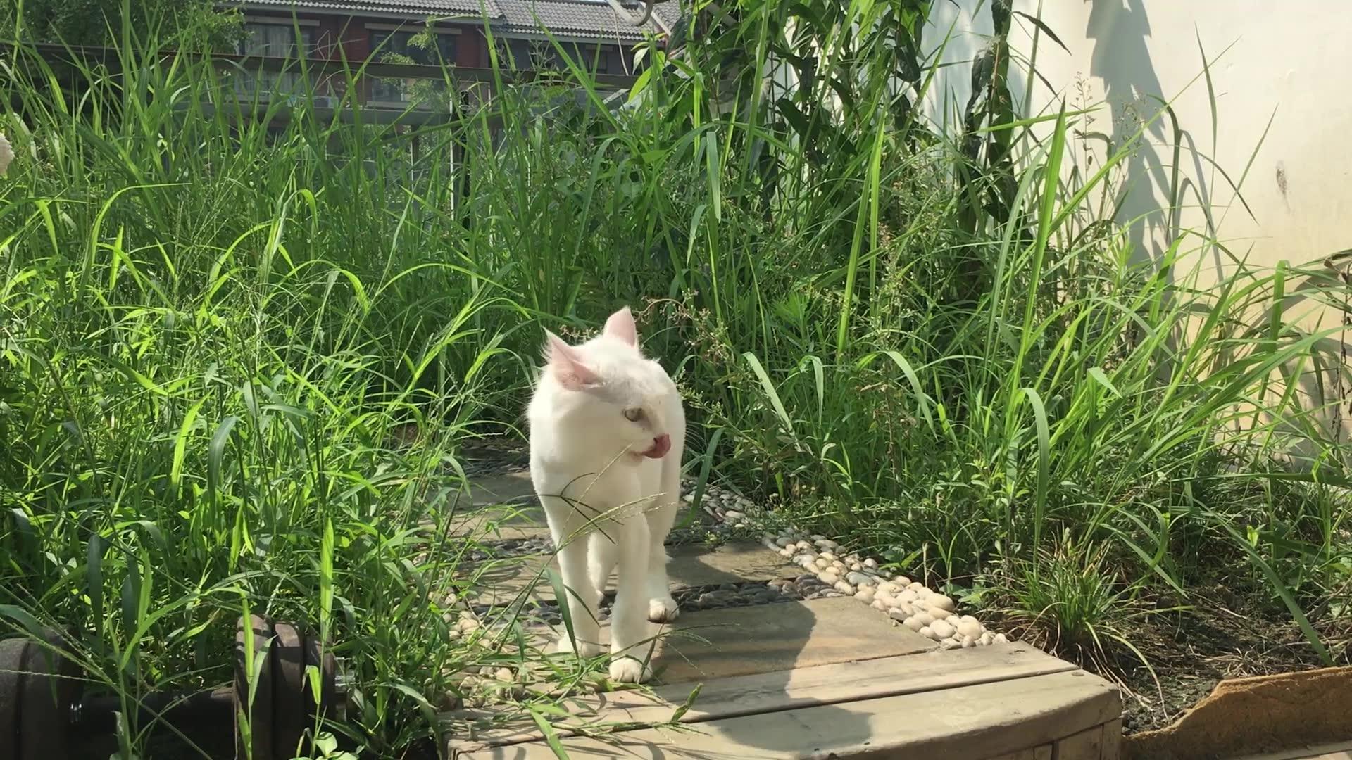 「总会有猫的!」谁来收了这只吃草的大白猫,恨死了这只小黑猫