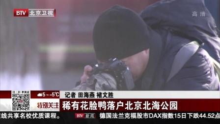 稀有花脸鸭落户北京北海公园 特别关注