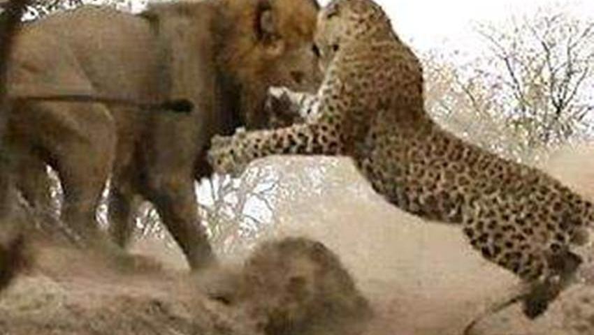 打开 打开 动物视频 猎狗围猎野猪实拍 动物世界 打开 动物世界 狮子