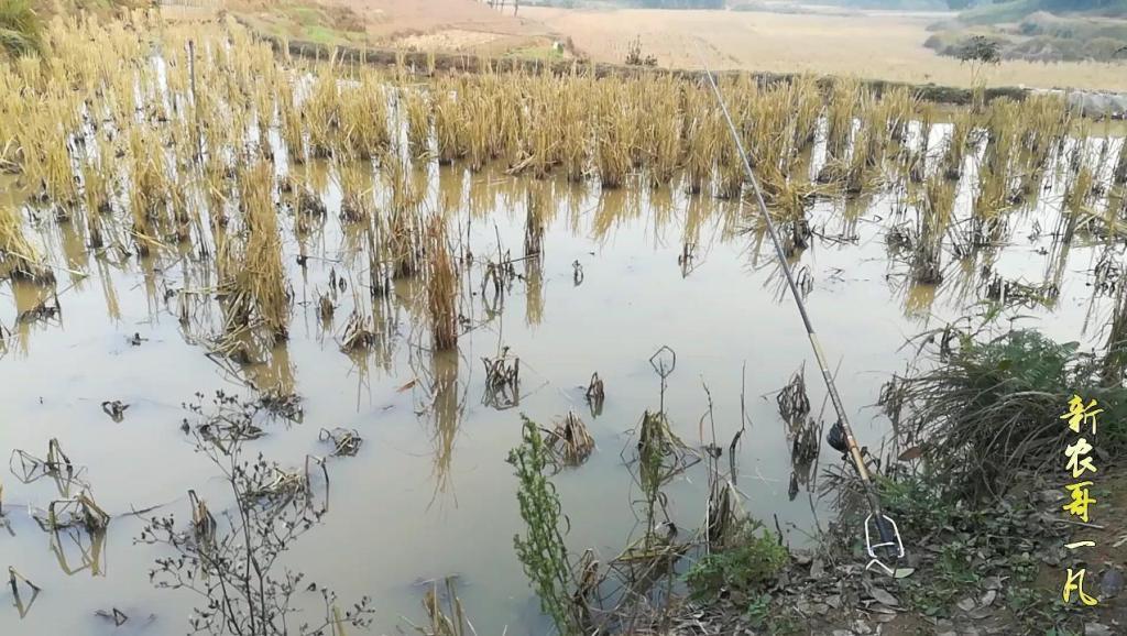 在南方农村稻田里钓鱼,北方人表示没见过,认为太假了