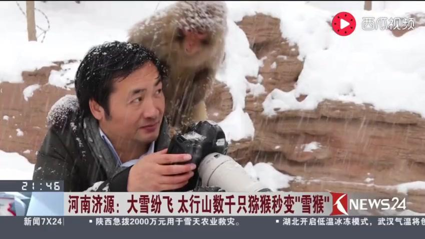 """河南济源: 大雪纷飞 太行山数千只猕猴秒变""""雪猴"""""""