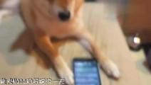 柴犬和苹果手机Siri的爆笑对话,笑疯了!