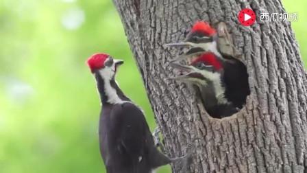 打开 给我模仿三样小动物好不好,啄木鸟怎么模仿 打开 实拍丹顶