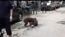 街头拍到可怕的一幕,比特犬发狂咬住萨摩不放,主人反击比特犬