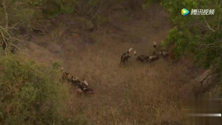 战胜狮子的非洲鬣狗却不敢招惹瘦小野狗! 不信邪, 就要付出血的代价