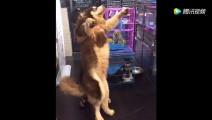 主人想把阿拉斯加抱起来 狗狗站起来个头比他还高 看着好尴尬