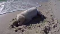 小金毛辛辛苦苦挖了一个坑,一个浪打过来全泡汤,心疼