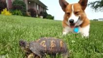 柯基以为躺在旁边的乌龟是块石头,当乌龟起来走路的时候,柯基: 卧槽!吓死爹了!