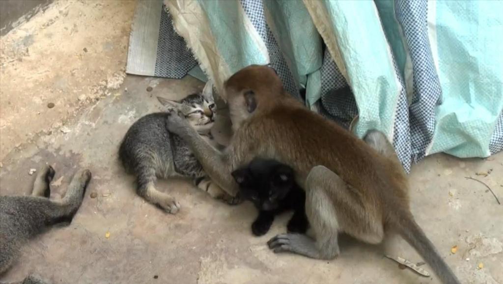 """一只猴子闯进喵星人家里,开始""""折腾""""小猫"""