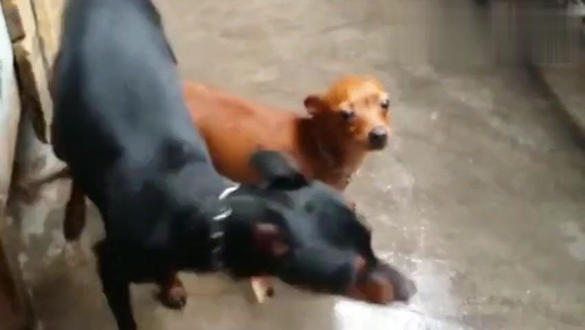 可怜的儿狗被大狗这样欺负小狗眼里全是泪