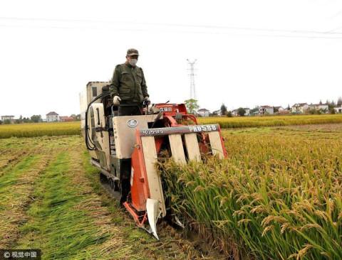 江苏省南通市海安县30万亩水稻已经成熟,一派金黄,收割穿梭田间收割忙