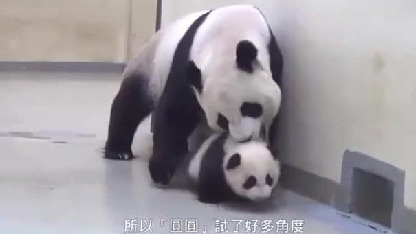 大熊猫金沙源睡觉觉啦