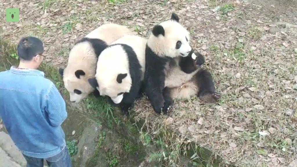 【大熊猫】三巨头集合,三方会谈共商大事,顺便让奶爸喂喂饭