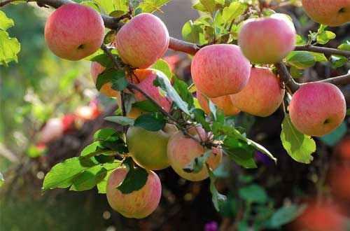 这段时间,苹果树根系有 一次生长高峰,施肥后根系伤口愈合快,并能很快