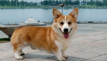 你见过短腿柯基跳水吗?狗狗跳水超级萌