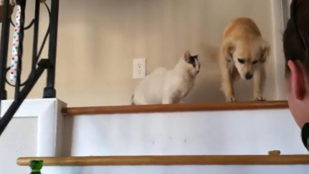 狗狗胆太小不敢下楼梯,惹得猫咪都看不下去了!