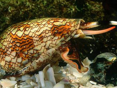 长吻海蛇是世界上最漂亮的蛇类之一,但是它和许多毒蛇一样致命.
