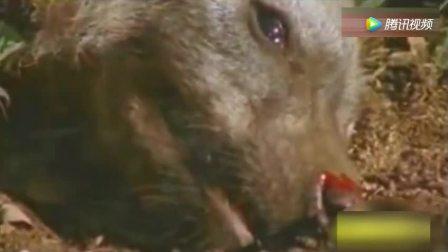 雄狮咬死鬣狗, 20几只复仇鬣狗杀向狮子, 公狮逃跑母狮惨遭围攻