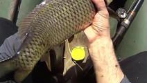 钓鱼: 鲤鱼大且修长,很漂亮