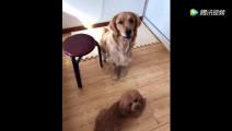 女主人问狗狗谁是金毛 狗狗被问懵了 直接作出这个动作