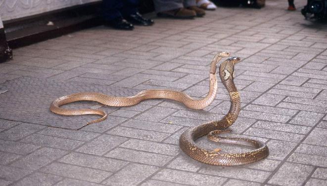 被蛇咬他仍不放弃, 成功从蛇窝里淘金_zzd_学生时代