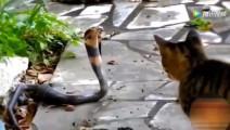 猫咪与眼睛蛇狭路相逢,怕蛇的朋友请勿观看!