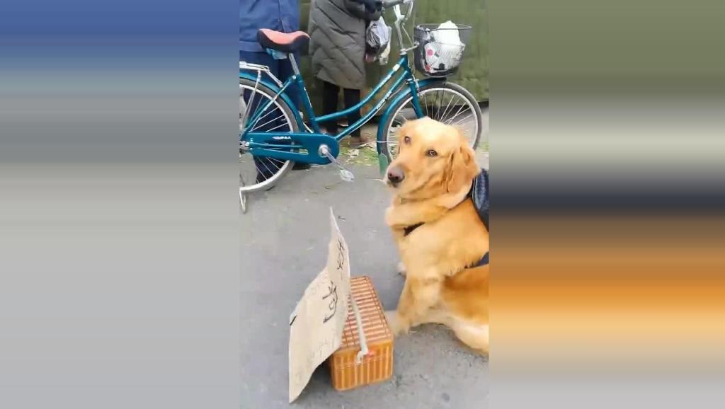 主人要把这只金毛卖了,换点钱花,狗狗眼睛一直都离不开自己的主人