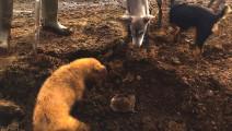 农场老鼠成灾,狗狗帮着主人抓老鼠一天抓上百只