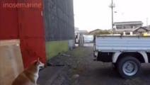 """""""倒倒倒,继续倒""""一只会帮助人看倒车距离的日本柴犬"""
