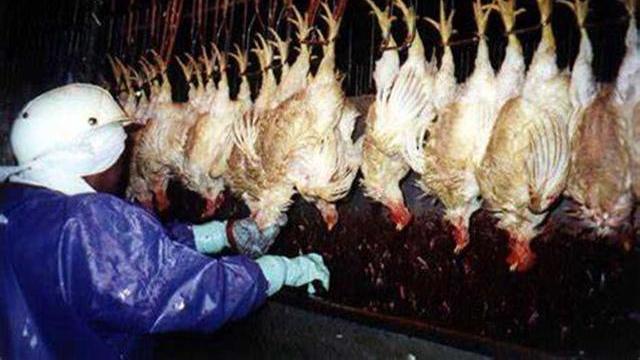 美国农场的小鸡, 炼狱38天 美国人吃的还是鸡吗