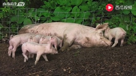 可爱的魔法师 打开 喂小猪的猪妈妈,一群饥饿的小猪宝宝们围绕着猪