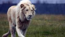 白狮子被十多只鬣狗围攻,淡定应战,霸气十足