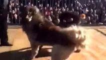 土豪的斗狗: 总价价值300万的藏獒对高加索,疯狂撕咬!