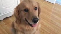 泰迪不想回家,金毛上去就教育它,真是操碎了心!