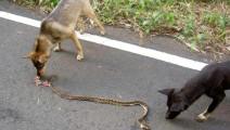 眼镜蛇无意闯入院子,3条恶狗立马扑上去,这时让人想不到的事发生了!